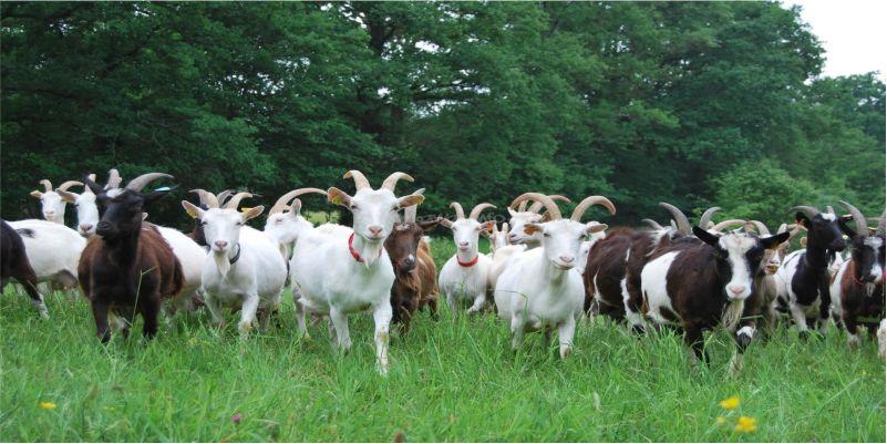 Con dê ngang bướng và người chăn dê